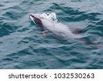 hector's dolphin ... | Shutterstock . vector #1032530263
