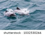 Small photo of Hector's Dolphin (Cephalorhynchus hectori) mother and calf, the world's smallest and rarest marine dolphin, Akaroa Harbour, New Zealand