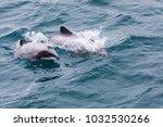 hector's dolphin ... | Shutterstock . vector #1032530266