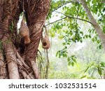 wild thai avian straw weaver...   Shutterstock . vector #1032531514