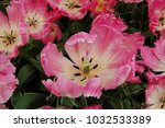 Trio Of Pink Feathery Tulips  ...