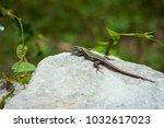 lizard is basking in the stone... | Shutterstock . vector #1032617023