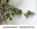 ficus benjamina plant branch...   Shutterstock . vector #1032632176