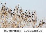 Roosting Cormorants And Darter...