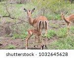 impala lamb suckling. | Shutterstock . vector #1032645628