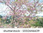 mai anh dao   a kind of cherry... | Shutterstock . vector #1032646639