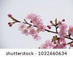 japanese cherry blossoms | Shutterstock . vector #1032660634