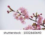 japanese cherry blossoms | Shutterstock . vector #1032660640