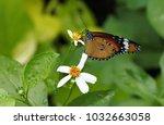 closeup monarch butterfly on... | Shutterstock . vector #1032663058