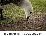 upland goose  patagonia | Shutterstock . vector #1032682369