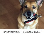a satisfied dog holds a nail... | Shutterstock . vector #1032691663