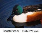 brightly coloured northern shoveler duck