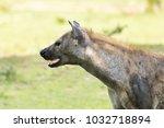 hyena in the african savanna | Shutterstock . vector #1032718894