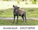 hyena in the african savanna | Shutterstock . vector #1032718900