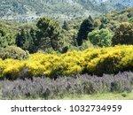 field of lavender flowers in... | Shutterstock . vector #1032734959