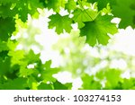 Fresh Green Leaves On The...