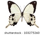 Stock photo papilio dardanus butterfly isolated on white 103275260