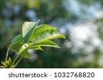 kapok tree leaves  red silk... | Shutterstock . vector #1032768820