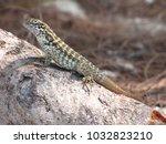 a bahamian lizard | Shutterstock . vector #1032823210