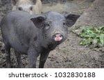 pig  piglet looking at camera ... | Shutterstock . vector #1032830188