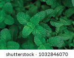 tip view green mint plant in... | Shutterstock . vector #1032846070