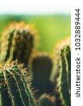 Small photo of Cactus echinopsis tubiflora
