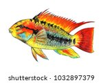 apistogramma macmasteri.... | Shutterstock . vector #1032897379