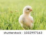 Close Up Newborn Yellow Chicke...