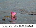 pink lotus bloom in lake.   Shutterstock . vector #1032966949