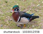 Small photo of Aix sponsa duck