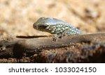lizard peeps out from behind a... | Shutterstock . vector #1033024150