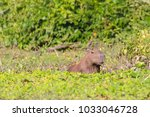 capybara photographed in its...   Shutterstock . vector #1033046728