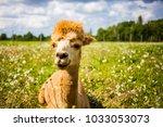portrait of a cute brown alpaca ... | Shutterstock . vector #1033053073