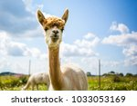 Portrait Of An Alpaca With A...