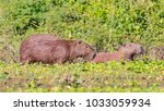 capybara  largest rodent in its ...   Shutterstock . vector #1033059934