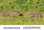 capybara  largest rodent in its ...   Shutterstock . vector #1033059940