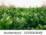 clover field close up | Shutterstock . vector #1033063648