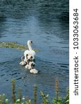 swans on the lake. swans with... | Shutterstock . vector #1033063684