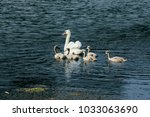 swans on the lake. swans with... | Shutterstock . vector #1033063690