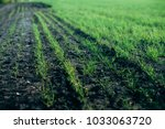 young sprouts of wheat | Shutterstock . vector #1033063720