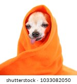 cute senior chihuahua wrapped... | Shutterstock . vector #1033082050