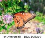 monarch butterfly is seeking...   Shutterstock . vector #1033105393