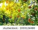 orange tree with fruits in... | Shutterstock . vector #1033126480