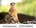close up body of meerkat... | Shutterstock . vector #1033148350