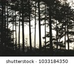 tall pines trees silhouetted at ... | Shutterstock . vector #1033184350