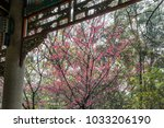 south china temple cherry...   Shutterstock . vector #1033206190