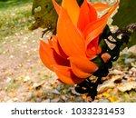 beautiful orange flowers butea... | Shutterstock . vector #1033231453