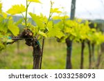 Grapevine Detail With Leaves...