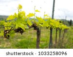 individual leaves on the grape... | Shutterstock . vector #1033258096