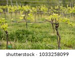 individual grape vine from... | Shutterstock . vector #1033258099